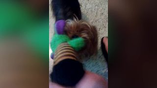 Tiny Puppy Tug-A-War - Video