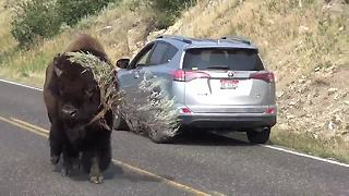 Bison Strolls Down Road 'Modeling' Massive Tree Branch - Video