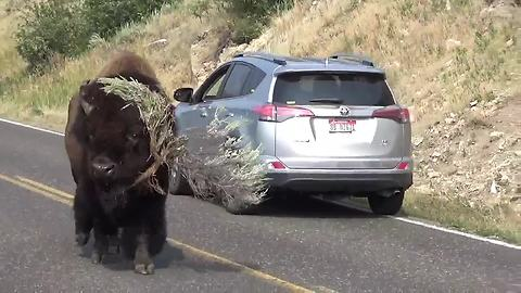 Bison Strolls Down Road 'Modeling' Massive Tree Branch