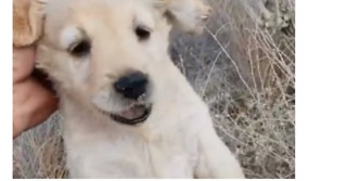 Crete Shelter Rescues Golden Retriever Pups Abandoned in Bushes - Video