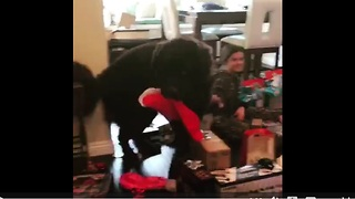 Family dog steals Christmas stocking - Video