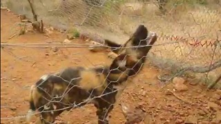 Rescued Wild Dog tries to bite water - Video