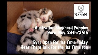 Aussie Puppies Born Nov. 24th, 2020 - Eyes Open For 1st Time Today & 1st Barks