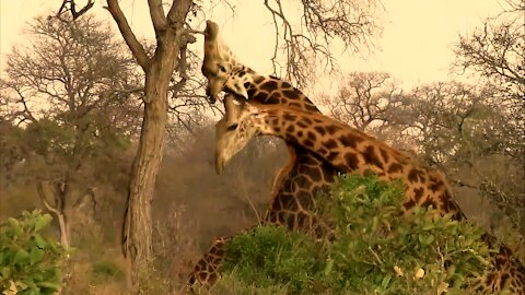 Dominant giraffe bull knocks out his opponent with repeated blows to the head
