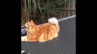 Could This Be the World's Longest Cat? - Video