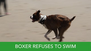 Boxer Wont Go Swimming At the Beach  - Video