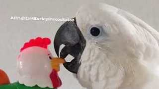 Harley the Cockatoo is Not Impressed by Noisy Toy Rooster - Video