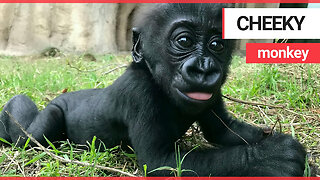 Baby gorilla being a cheeky monkey by sticking her tongue out at the camera