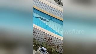 Monitor lizard goes for a dip in public swimming pool - Video