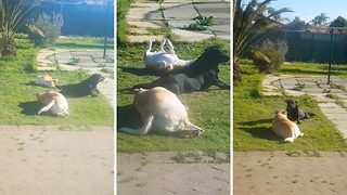 Doting owner captures hilarious footage of her pooches performing 'doggy yoga' - Video