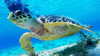 Curious sea turtle follows snorkelers for half an hour