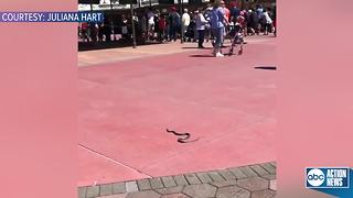 VIDEO: Not your average Disney World guest... Snake removed from entrance to Magic Kingdom - Video