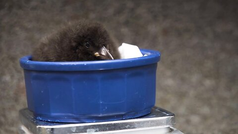 New puffin chick born at the National Aquarium