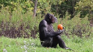 Animals get in the Halloween spirit as they feast on pumpkins - Video