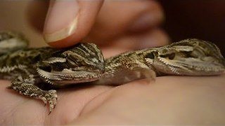 Adorable Lizards Can't Keep Their Eyes Open - Video