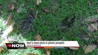 Deer's head gets stuck in plastic pumpkin - Video