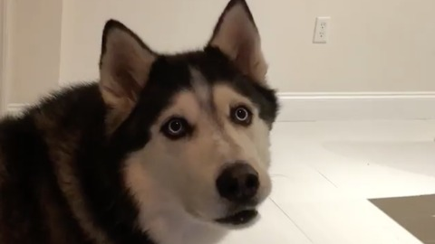Coming home to my husky after work