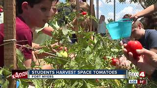 Fort Myers students harvest space tomatoes - Video