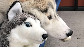 Husky loves his stuffed animal, treats it like real puppy - Video