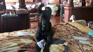 Funny Great Dane Helps with the Laundry  - Video