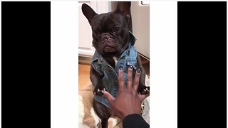 French Bulldog models awesome denim jacket - Video