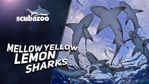Are they your pal or worst enemy? Meet the lemon shark!