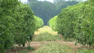 The desperate wait for citrus farmers - Video
