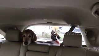 Look on dog's face as pal barks mindlessly at wipers is priceless - Video