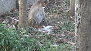 A monkey mum refuses to accept her baby's death - Video