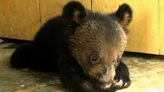 Rescued Bear Cubs - Video