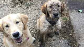 Golden Retriever puppy first time in mud  - Video