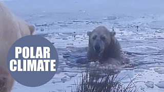 Heartwarming moment a polar bear took a dip in a freezing pool at a Scottish wildlife park - Video