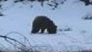 Bear Spotted Foraging for Food Along Missoula Highway - Video