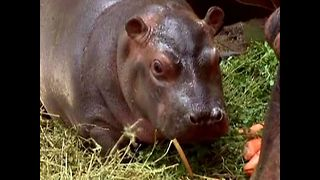 Hello to Baby Hippo - Video