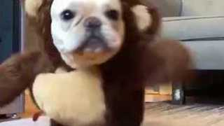 Cute Puppy Looking for His Valentine - Video