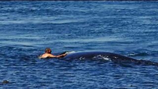 Extremely dangerous: man swims next to two humpback whales
