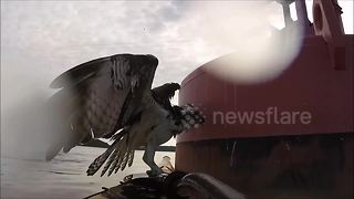 US kayaker rescues osprey from certain death in Virginia river - Video