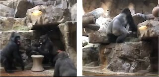 Alfa male gorilla breaks up fight between youngster