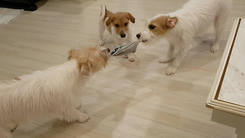 3 Jack Russell Tug of War