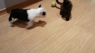 Friendly Puppy Invites Shy Kitten To Play By Starting A Chase - Video