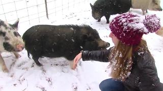 TMP Pot Belly Pigs Sanctuary Britta - Video