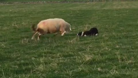 Ram-bo's revenge: Grumpy sheep charges and head-butts fearless collie trying to herd him