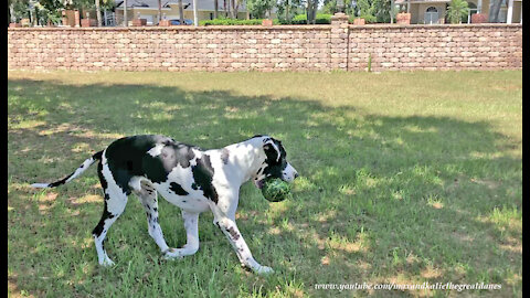 Great Dane treats watermelon like his own personal chew toy