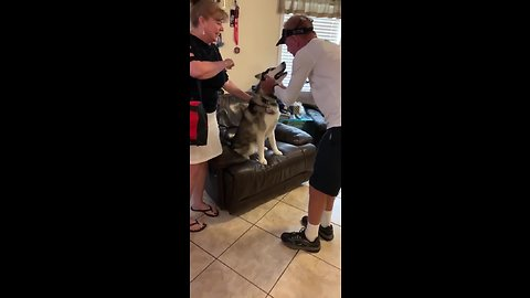 Husky literally screams in excitement when owner's parents visit