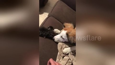 It must be puppy hate! Owner catches kitten after dog nudges it off sofa