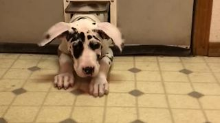 Great Dane squeezes through tiny cat door