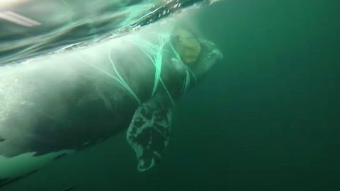 Chilean navy jumps in next to huge whale to free it from crab nets wrapped around body