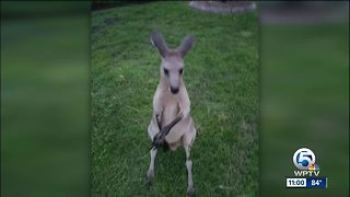 Search for escaped kangaroo named Storm in Jupiter Farms - Video