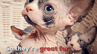 Sphynx Cats Are Hairless Cats - Video
