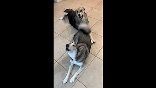 These dogs hilariously perform the song of their people on command!